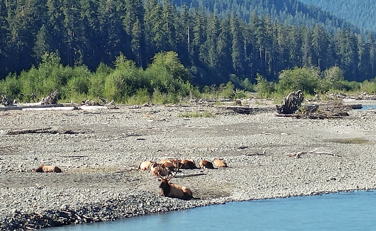 Elk sunning themselves